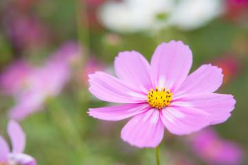 ピンクと白い模様のコスモス