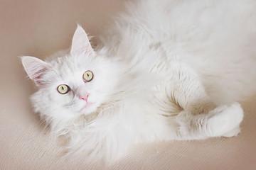 Search Photos Biały Kot