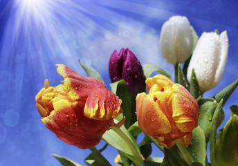 Fotoväggar - tulpen mit wassertropfen