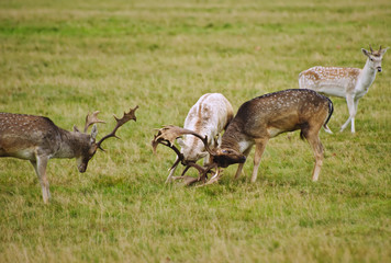 Fallow deer stags antler jousting in Autumn Fall