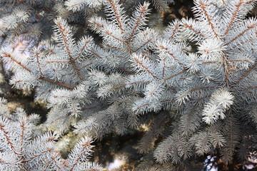 Blue spruce twigs