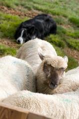 Fond de hotte en verre imprimé Sheep troupeau