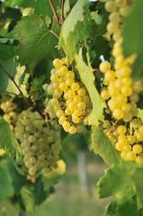 cluster of white grape