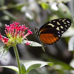 Farfalla che sugge il nettare