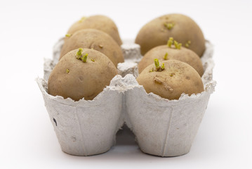 Six potatoes chitting (sprouting) in an egg carton.