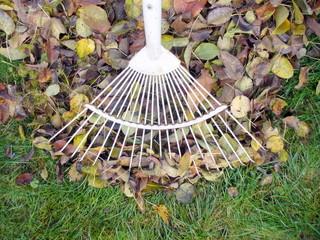 Raking fallen autumn leaves