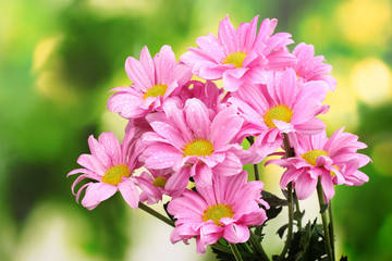 beautiful pink chrysanthemum on green background