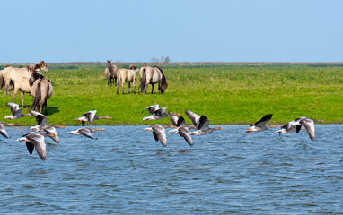 Wild horses and flying geese over water