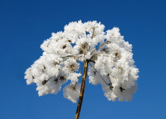 Ice covered flower with deep blue sky