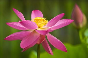 fior di loto fiori 1369