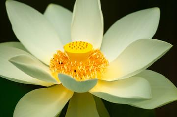 fior di loto fiori 1370