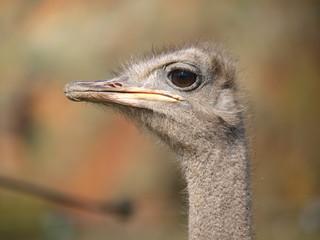 cabeza avestruz