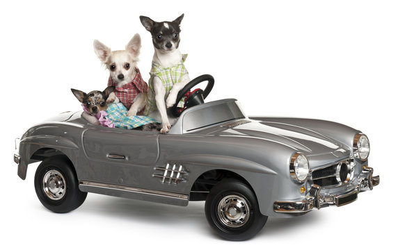 Three Chihuahuas sitting in convertible