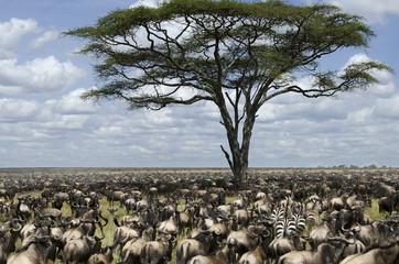 Herd of wildebeest migrating in Serengeti National Park, Africa