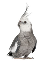 Male Cockatiel, Nymphicus hollandicus