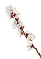 Blooming twig of fruit-tree