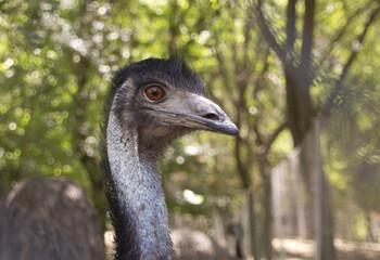 Closeup emu in open