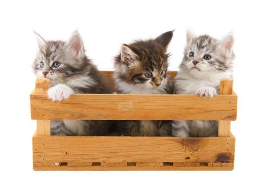Three little Main Coon kittens