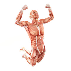 Jumping man muscles anatomy system isolated on white background