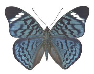 Panacea bleuzeni isolated on white background