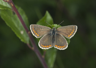 Hairstreak butterfly resting on leaf, macro phot