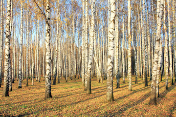 Foto auf AluDibond Birkenwald Birch grove in october