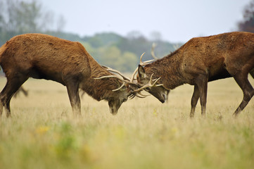 Red deer stags jousting with antlers in Autumn Fall forest meado