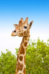 giraffe on africa