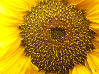 Close up view of a Sunflower