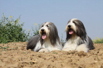 couple de bearded collies allongés dans les labours