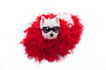 westie terrier with sun glasses and red shaw