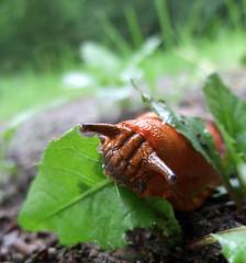 red slug at feed