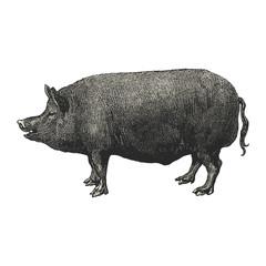 Porc anglais