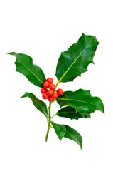 Branch holly leaves with red berries on a white background.