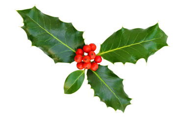 Holly leaves with berries on a white background, isolated.