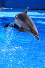 Photo sur Aluminium Dauphins little dolphin jumping out of water