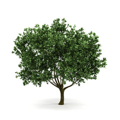 3d tree isolated on white.