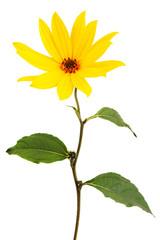 Wall Mural - Yellow daisy flower