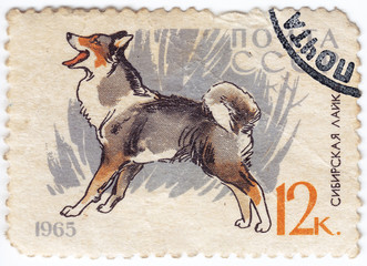Siberian Huska