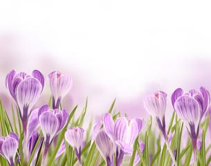 Foto auf Acrylglas Krokusse Beautiful crocuses blossoms background
