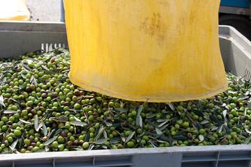 Fototapete - Raccolta olive