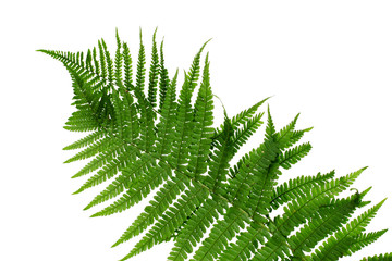 Green leaf of fern isolated on white