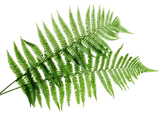 Two green leaves of fern isolated on white
