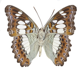 The Commander Butterfly (Moduza procris)