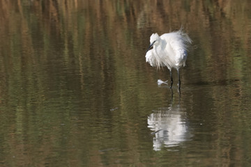 Little egret ruffling its plumage in shallow water,