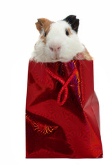 guinea pig in a gift bag over white bacground