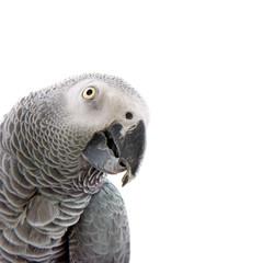 Fotorolgordijn Papegaai African grey parrot