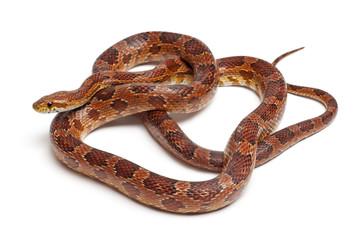Classical Corn Snake or Red Rat Snake, Pantherophis guttatus