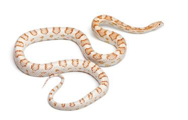 Candy cane Corn Snake or Red Rat Snake, Pantherophis guttatus