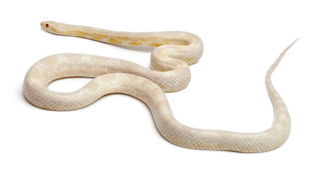 Snow Corn Snake or Red Rat Snake, Pantherophis guttatus